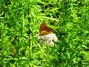 Какая-то бабочка
