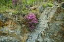 Багульник на скалах