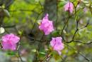 Цветущий багульник