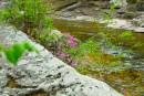 Цветущий багульник на скалах