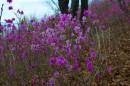 Цветущий багульник на склоне мыса