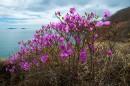 Цветущий багульник на фоне островов
