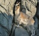 Горал.    Этот козлик жил в скалах бухты Алексеева в 2007 году.