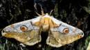 Бабочки Ольховой.