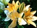 Желтые лилии. Лесозаводск