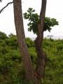 Девушка - дерево в бухте Триозерье. Вид с верхней площадки в лесу. Побережье Партизанского и Лазовского районов Приморского края