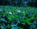 лотосовое озеро