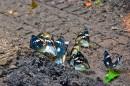 Переливница Шре́нка, или радужница Шре́нка (лат. Mimathyma schrenckii) — вид дневных бабочек из семейства нимфалид (Nymphalidae). Распространена в южной части Приморского края России, в Уссурийском регионе, Китае и Корее.