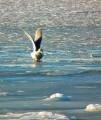 Во льдах брода нет. Завтрак на мелководье. Бухта Промежуточная.
