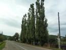 Три-четыре-пять тополей в рядок стоят! Они украшают одну из улиц поселка Ольга.