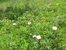 пионовая поляна