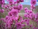 Цветущий рододендрон-багульник на о.Антипенко.