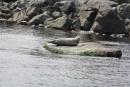 В окрестностях Андреевки есть место постоянного обитания нерп. И как следствие постоянное внимание туристов нерп уже не беспокоит. Полуостров Гамова. Хасанский район.
