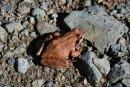 Жаба на полуострове Гамов.