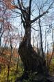 Второй ориентир - изогнутое дерево. По тропе не доходя до ключа Смольного.