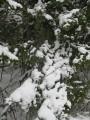 снежные лапы