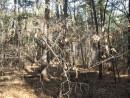 лесные сережки