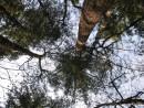 лесной орган