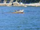 Нерпа греется на камне на против мысы Шкота в заливе Ольги