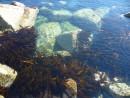Несметны запасы капусты морской