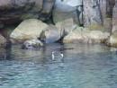 Два баклана под водой и на воде ведут беседу на птичьем языке