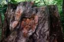 Лицо монаха, вырезанное на пне (сейчас его уже нет).