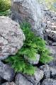 Микробио́та перекрёстнопа́рная (лат. Microbióta decussáta) — вечнозелёный хвойный кустарник из семейства Кипарисовые. Единственный вид рода Микробиота.  Встречается в Приморском и Хабаровском крае, от бассейна реки Партизанской до левобережья реки Анюй. Является эндемиком гор Сихотэ-Алиня, её можно найти, главным образом, на южных хребтах и преимущественно на южных склонах, на высотах 350—1600 м над уровнем моря. Растёт на гольцах в горах, выше границы леса, предпочитает высоту 700—1000 м над уровнем моря .  Микробиота перекрёстнопарная — единственный эндемичный род хвойных в России.