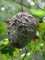 Осиное гнездо. Лазовский заповедник. Лазовский район.