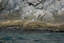 Самые многочисленные обитатели местных скал. Бакланы и чайки.  Полуостров Гамова. Хасанский район.