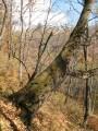 """""""леопардовое"""" дерево"""