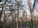 хвойные очень оживляют лес зимой