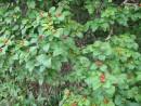 """""""волчья"""" ягода"""