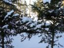 Мохнатые ели в снегу