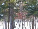 Клен и зимой красный