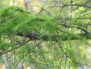 лиственнница