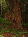 Тис Остроконечный. Тиссовая роща. Остров Петрова. Лазовский заповедник. Лазовский район