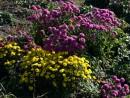 Еще хризантемы