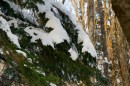 Лапник под снегом.