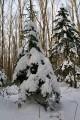Ёлочки под снегом