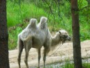 В Шмаковке верблюд большая редкость. Цирк приезжал.