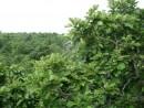 приморский дуб