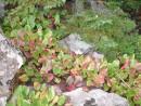 бадан - женская трава