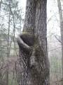 дерево с ухом