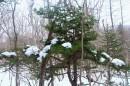Ёлка, усыпанная снегом.