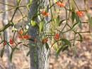 ягоды омелы