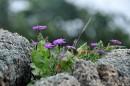 Цветы в расщелине.