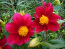 Пара цветков
