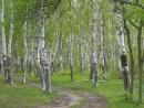 Березовая роща, это всегда украшение леса.