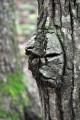 Лицо на стволе дерева. сделанное самой природой.