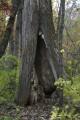 Старое дерево. Смольный ключ. Шкотовский район.